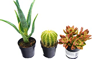 Aloe Vera, Succulent and Cactus Variety Pack/All Different Species / 2.5