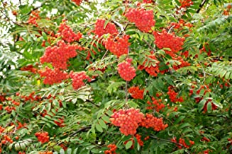 Rowan, (European Mountain Ash), Sorbus aucuparia, Tree Seeds (300 Seeds)