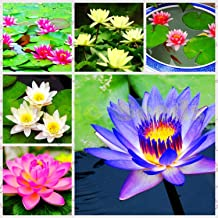 6 : 5pcs Aquatic Water Lily Seeds Flower Seed Water Lilies Pond Garden