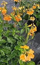 crossandra orange