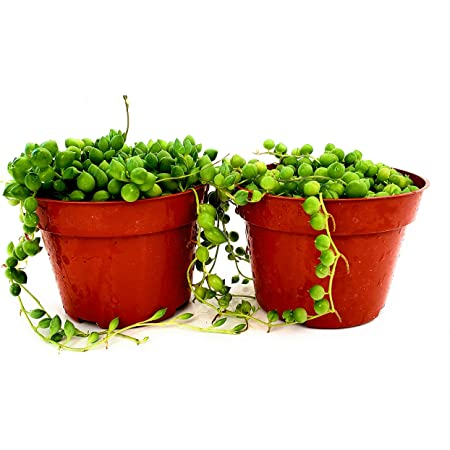 2, String of Pearls Fat Plants San Diego Succulent Plant s Trailing Succulent Collection Fully Rooted in 4 inch Planter Pots with Soil