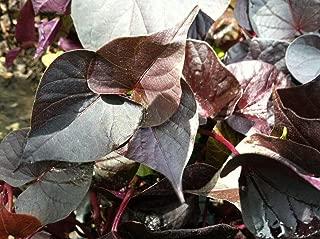 6 Live Starter Plants Ipomoea Ace of Spades Sweet Potato Vine #JP11