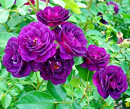 midnight blue shrub rose