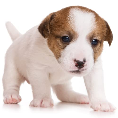 Guess The Puppy Breed 2 - Trivia Game