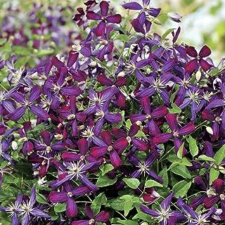 "Sweet Summer Love Clematis - Fragrant/Long Blooming - 4"" Pot - Proven Winner"