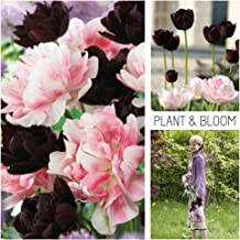 Plant & Bloom Tulip Flower Bulbs from Holland, 20 Bulbs - Double Tulips Duopack Black and Pink - Easy to Grow - for Fall Planting, Spring Flowering - Beautiful Contrast Blooms - Dutch Garden Quality