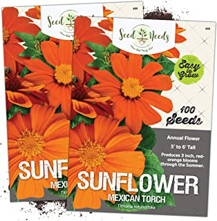 Seed Needs, Mexican Sunflower (Tithonia rotundifolia) Twin Pack of 100 Seeds Each