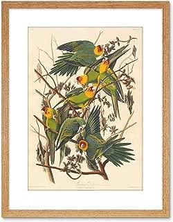 The Art Stop Painting Bird Audubon Carolina Parrot Framed Print F97X3579