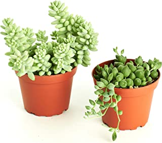 Shop Succulents Selected String of Pearls & Burrito Sedum Variety Hanging Collection of Live Succulent Plants, Hand Se, 2
