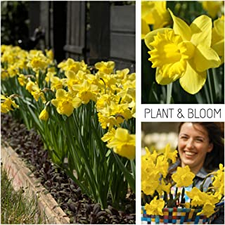 Plant & Bloom Narcissus Flower Bulbs from Holland, 20 Bulbs - Narcissus Dutch Master - Easy to Grow Daffodils - for Fall Planting in Your Garden - Top Dutch Quality - Yellow Blooms - Landscape Bag