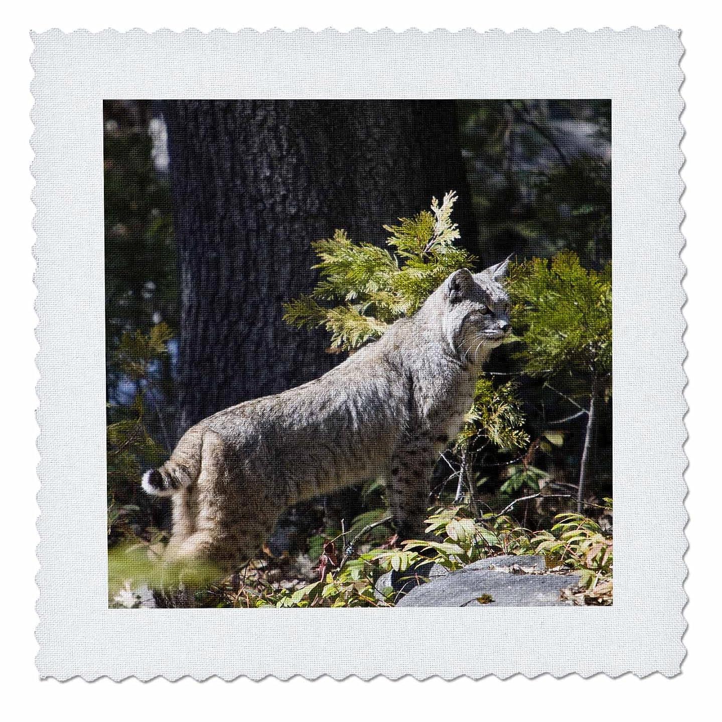 3dRose qs_88449_10 Bobcat Wildlife, Yosemite National Park, California-Us05 Jgs0111-Jim Goldstein-Quilt Square, 25 by 25-Inch