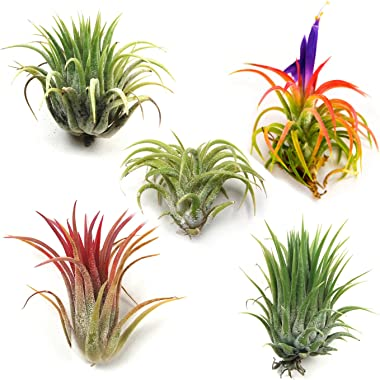 Air Plants - Ionantha Mexican - Set of 5 Air Plants - Colors Vary Throughout The Year - Fast Shipping - Tillandsia House Plan