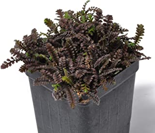 leptinella squalida brass buttons