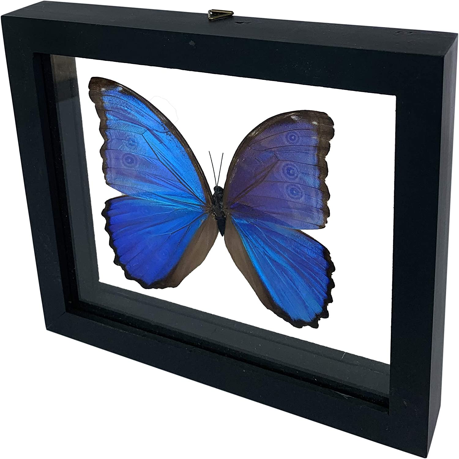 """Blue Morpho Didius 3D Butterfly Sales – x Inventory cleanup selling sale Museum A 7.75"""" Quality"""