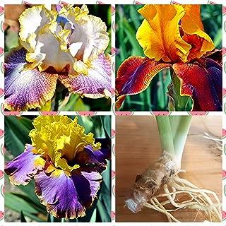 3 Tall Bearded Irises - Iris 3 Combo Pack - Tall Bearded Iris Rhizome Upc 656793276858