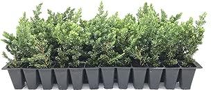blue pacific juniper shrub