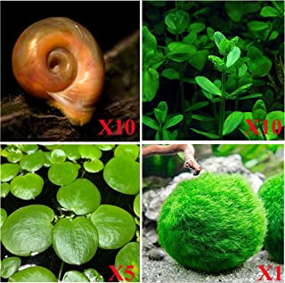 Aquatic Disocunts - 10 Ramshorn Snails (Feeders/Cleaners), 1/6-1/3 inch - Plus 3 Kinds of Live Aquarium Plants - Bacopa (Background), Moss Ball (Bottom), Amazon Fr o g bit (Surface)! Betta Betta