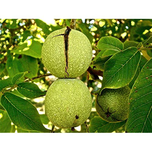 Walnut Trees: Amazon com