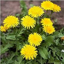 Seed Needs, Dandelion Herb (Taraxacum officinale) 10,000 Seeds Non-GMO