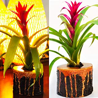 Live Exotic Guzmania Flower 🌺 in Unique Lava Wood Planter 🔥 Colorful Indoor Bromeliad Plant in One-of-a-Kind Solid Pot.