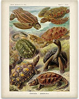 Ernst Haeckel Turtles - 11x14 Unframed Art Print - Great Beach House Decor Under $15 for Pet Turtle Owners