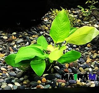 Mainam Anubias Nana Golden Rhizome Live Aquarium Plants Decorations