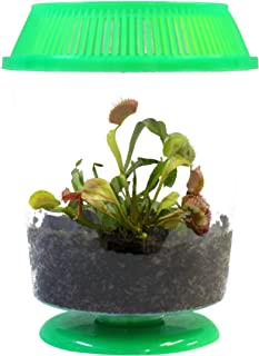 """Adult Venus Flytrap in 4.5"""" GREEN Terrarium - Carnivorous Plant Fly Trap by Nature Gift Store"""