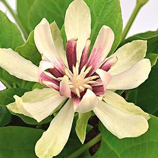 Calycanthus chinensisVenus   Weißer Gewürzstrauch   Blühende Sträucher Winterhart   Höhe 30-50 cm   Topf-Durchmesser 19 cm