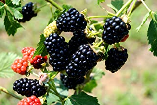 (1 Gallon Bareroot Plant) BlackBerry Arapaho, Earliest Ripening Thornless Variety. Fruit are Medium in Size, Good Flavor, Average Sugar Content of 9-10%