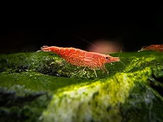 Aquatic Arts 20 Live Sakura Red Cherry Shrimp (Neocaridina davidi) - Breeding Age Young Adults at 1/2 to 1 Inch Long