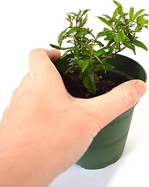 9GreenBox - Dwarf Pomegranate Tree - 4'' Pot
