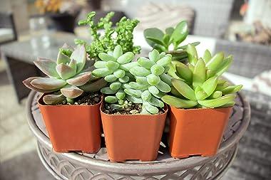 Succulent Plants (5 Pack) Assorted Potted Succulents Plants Live House Plants in Cacti and Succulent Soil Mix, Planter Pots D