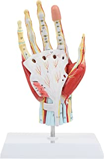 Axis Scientific Anatomy Model of Hand with Muscles, Ligaments, Nerves and Arteries | 7 Removable and Numbered Parts Show Internal Hand Detail and Structure | Includes Product Manual | 3 Year Warranty