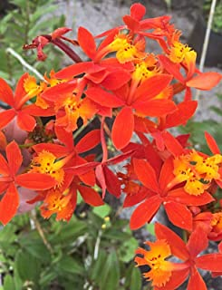 "Sale Orange Three Rooted epidendrum radicans Ground Orchid Clumps 8"" Tall Each (Premium Quality)"