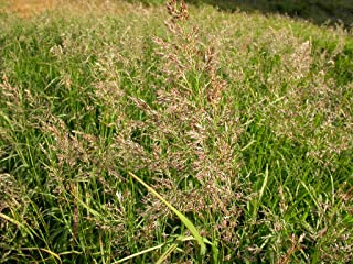 1 oz Seeds (Approx 280000 Seeds) of Calamagrostis Canadensis, Blue Joint Reedgrass
