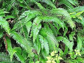 Ecowus 1500 Seeds Western Sword Fern Polystichum Munitum Giant Holly Swordfern Spores