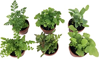 Micro Ferns (6 Plants) (1.5