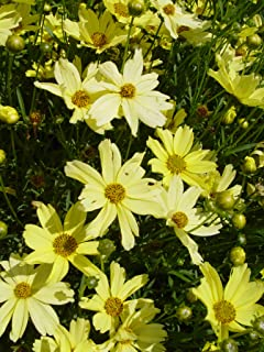 Coreopsis verticillata 'Moonbeam' (Tickseed) Perennial, pale yellow flowers, 1 - Size Container