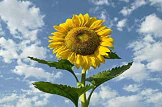 Sow Right Seeds - Jumbo Packet of Skyscraper Sunflower Seeds to plant (75+ Seeds); Up to 12 Feet Tall! Non-GMO heirloom seeds; Full instructions for easy planting; Wonderful gardening gifts (1 Packet)