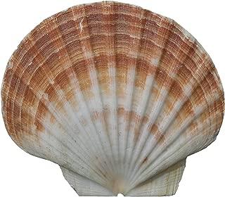 irish flat scallop shells