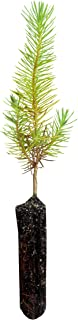 Aleppo Pine | Small Tree Seedling | The Jonsteen Company