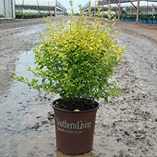 Southern Living Plant Collection SL-53Q Sunshine Ligustrum, 2.5 qt, Yellow