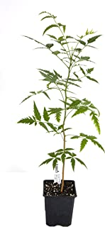 azadirachta indica plant for sale
