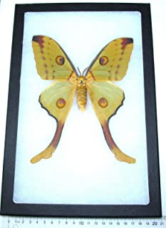 Best luna moth specimen Reviews