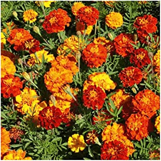 Everwilde Farms - 1 Lb Sparky Mix French Marigold Wildflower Seeds - Gold Vault