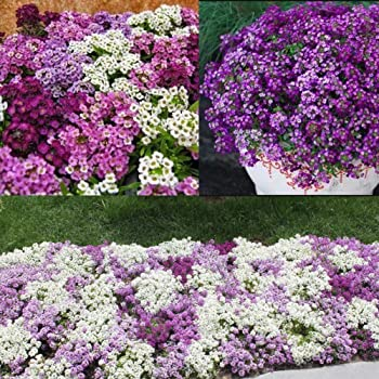 QHYDZ Seeds-50pcs Semillas Flores de Hortensia, Semillas Flores ...