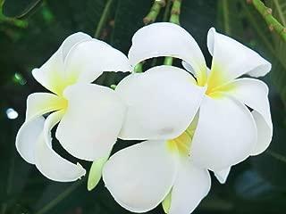 Best frangipani seeds buy Reviews