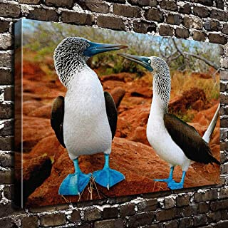 For Your Gifts COLORSFORU Birds Blue Footed Boobies Custom Canvas Print 20x16 Inch Framed Home Office Wall Decor Art Print Poster