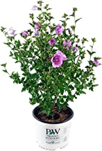 Proven Winners - Hibiscus syriacus Lavender Chiffon (Rose of Sharon) Shrub, lavender flowers, #3 - Size Container