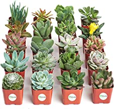 Shop Succulents | Unique Live Plants, Hand Selected Variety Pack of Mini Succulents, Collection of 20, Pack of 20 SE